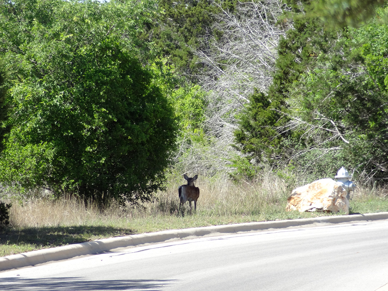 rockwall ranch deer